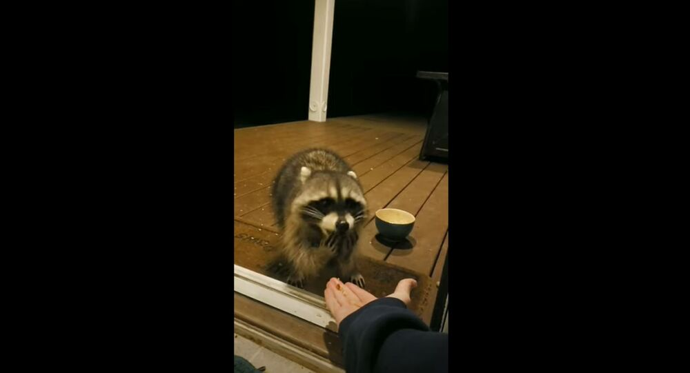 Hungry Raccoon Eats Out of Neighbor's Hand Amid Quarantine