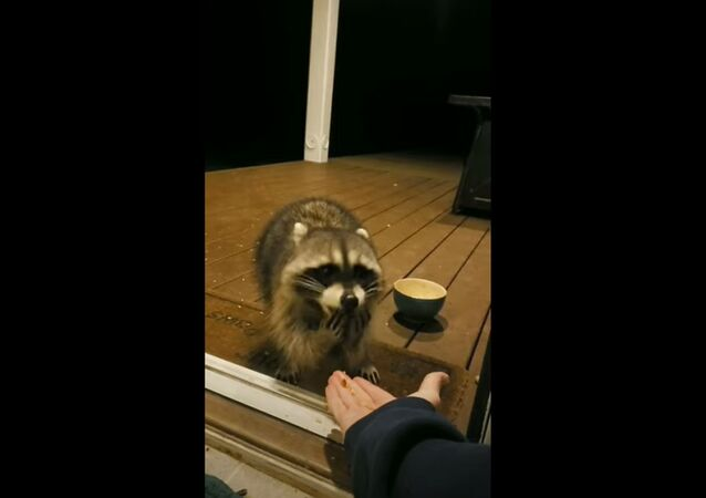 Hungry Raccoon Eats Out of Neighbor's Hand Amid Quarantine