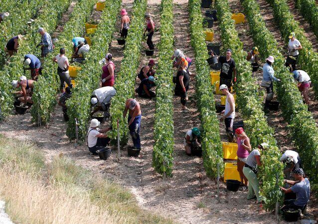 Grape fruit pickers in a vineyard France-min