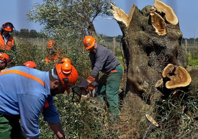 Workers cut down an olive tree in Oria, near Brindisi, southern Italy, Monday, April 13, 2015. Forestry officials in southern Italy have cut down the first of thousands of olive trees infected with a deadly bacteria in a controversial bid to prevent its spread. The xylella fastidiosa bacteria has ravaged Puglia's olive trees and contributed to a 35 percent drop in the region's olive oil production last year. Its spread has so alarmed the EU that France announced a boycott of Puglian vegetables. Puglian growers have opposed the government's slash-and-burn plan, saying it won't contain the bacteria's spread. (AP Photo/Gaetano Loporto)