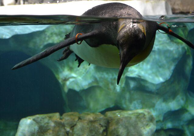 Swimming penguin. Kansas city zoo