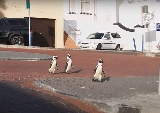 Penguins stroll along Cape Town during Covid-19 quarantine