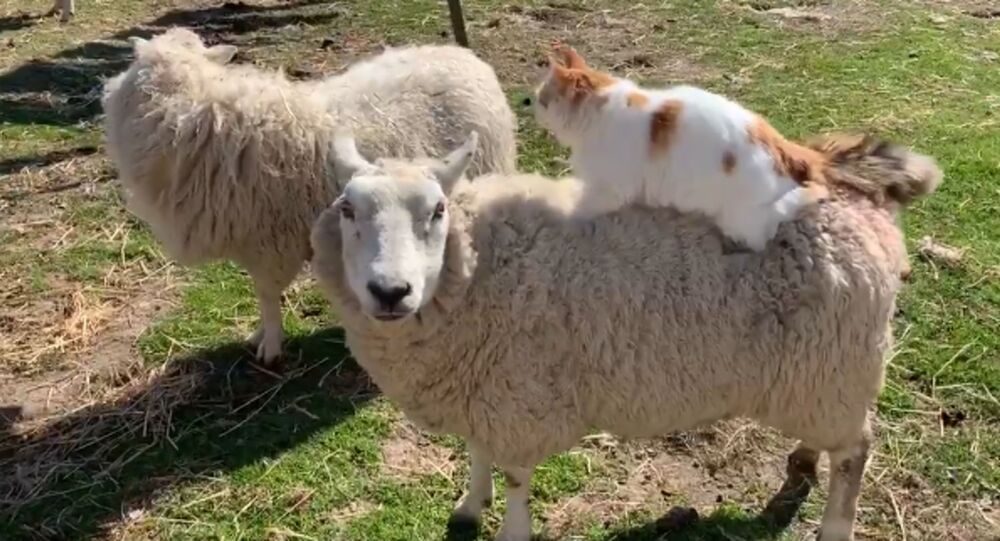 Helpful Kitty Massages Expecting Sheep's Back