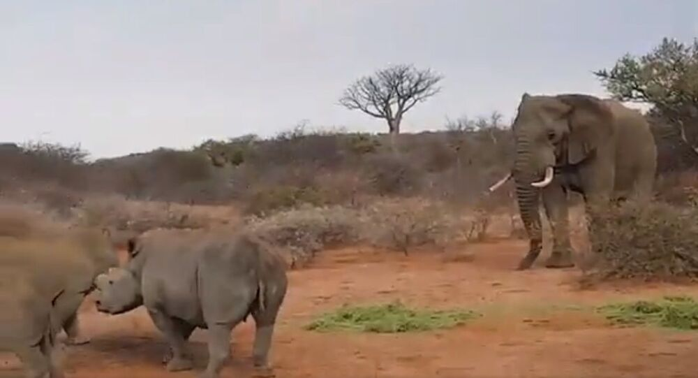 Elephant fends off the challenge from rhinos for fodder