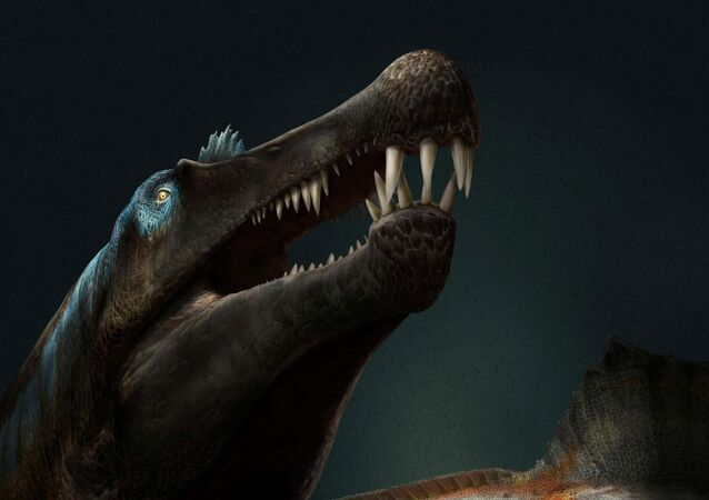A Spinosaurus, with long narrow jaws with conical teeth and a unique tail for aquatic locomotion, is seen in an illustration provided April 29, 2020.