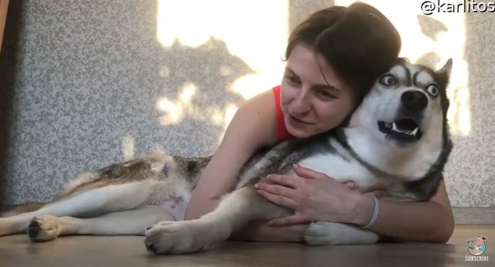 Goofy Husky Protests Unwanted Affection