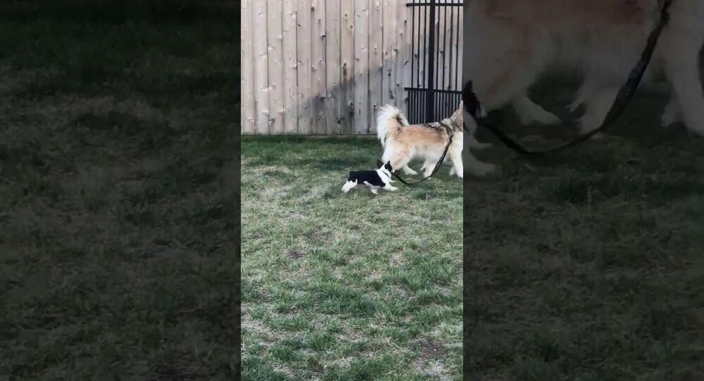 Corgi Pup Tries to Take Woofer for a Walk