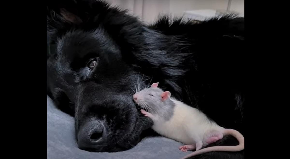 Tiny Rat Dozes Off On Dog S Snout