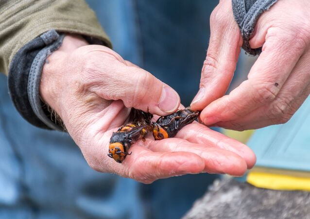 Washington State Department of Agriculture entomologist Chris Looney holds a pair of Asian Giant Hornet caught in a trap near Blaine, Washington, U.S. April 23, 2020.