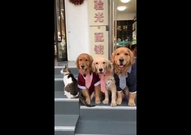 Here's a golden retriever forcing a cat to participate in the family photo, that is all