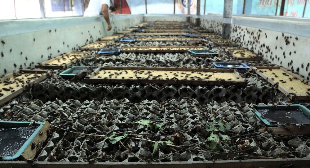 In this photo taken Aug. 5, 2014, Chalong Prajitr, 57, feeds crickets at a farm in Thanon Nang Klarn village in Nakhon Ratchasima province, northeastern Thailand