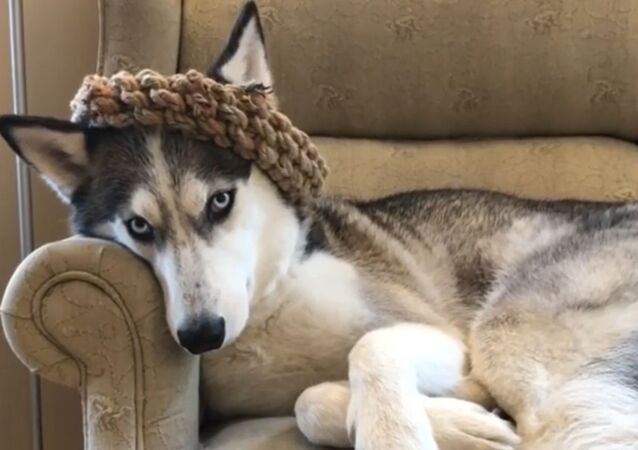 Game of Thrones: Sneaky Husky Steals Sibling's Crown