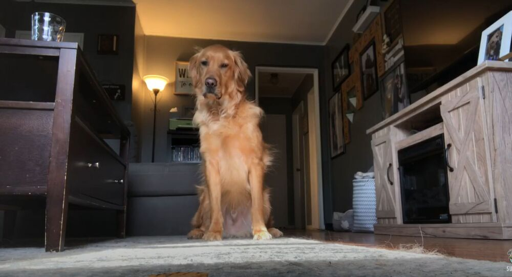 Dog Dilemma: Sly Golden Retriever Grabs Biscuit While Owner's Away