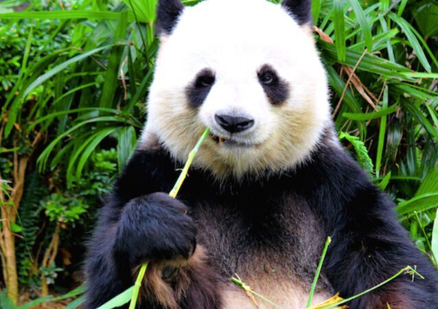 Canadian Zoo Sends Pandas Home to China After Pandemic Frustrates Bamboo Imports