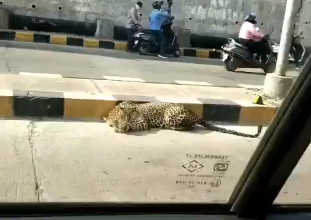 A leopard was seen resting at Katedan underbridge at Mailardevpally, Rajendranagar in Hyderabad