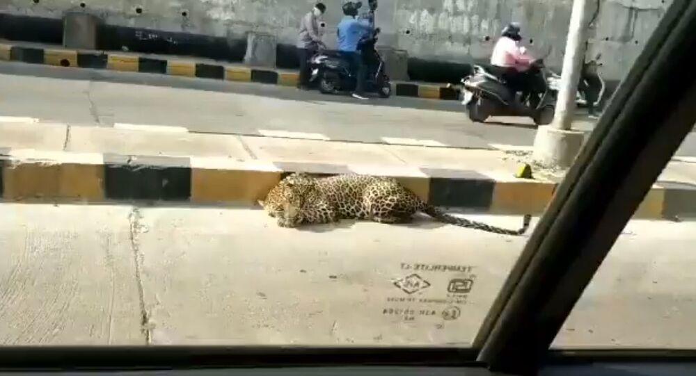 A leopard was seen resting at Katedan underbridge at Mailardevpally, Rajendranagar in Hyderabad