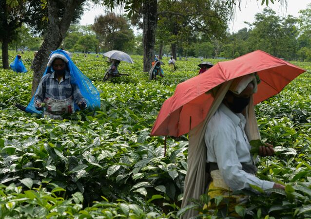 Labourers pluck tea leafs after the government eased a nationwide lockdown imposed as a preventive measure against the spread of the COVID-19 coronavirus at Kiranchandra Tea Garden, some 20 kms from Siliguri on April 26, 2020.