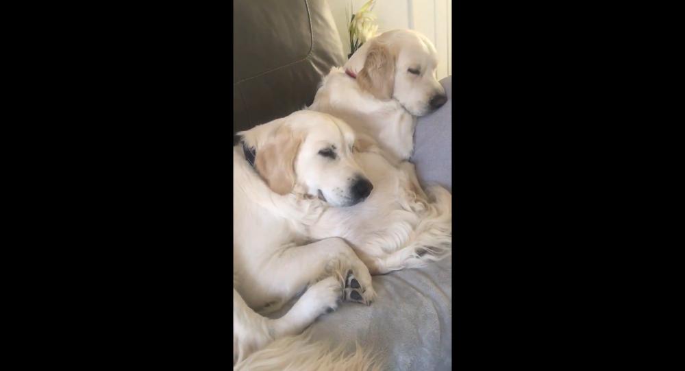 Golden Retrievers couple