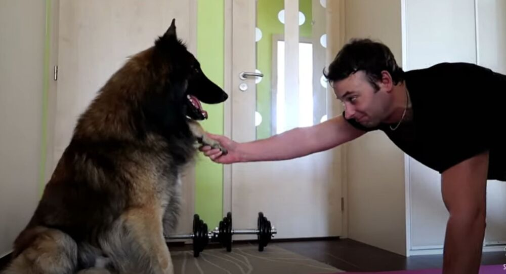 Doggy Weights: Belgian Shepherd Helps Owner Exercise During Quarantine