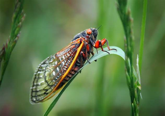 Periodical cicadas can appear in 17 or 13-year intervals This year's emergence is expected across northwestern North Carolina, Virginia, and  West Virginia.