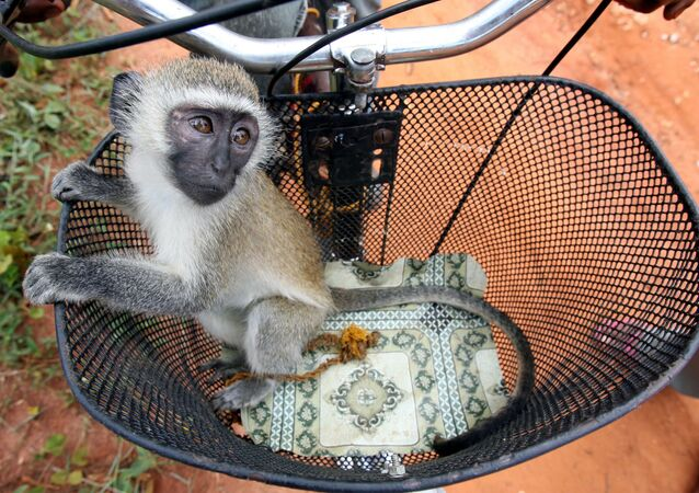 A baby vervet monkey (Cercopithecus aethiops) is seen in a bicycle basket in Zanzibar's island village of Kidichi November 3, 2005.