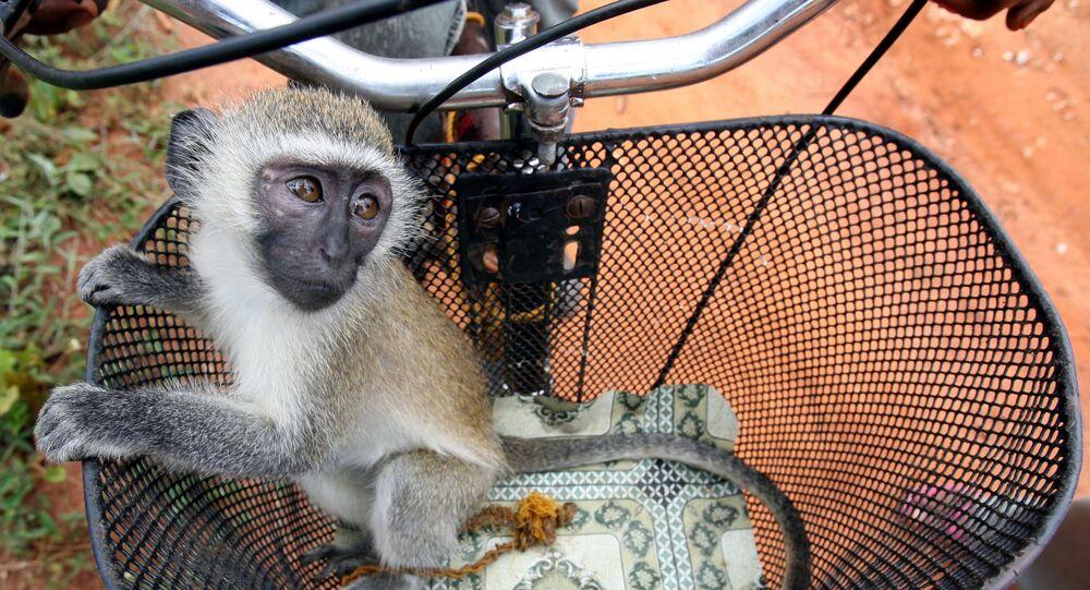 A baby vervet monkey (Cercopithecus aethiops) is seen in a bicycle basket in Zanzibar's island village of Kidichi November 3, 2005.
