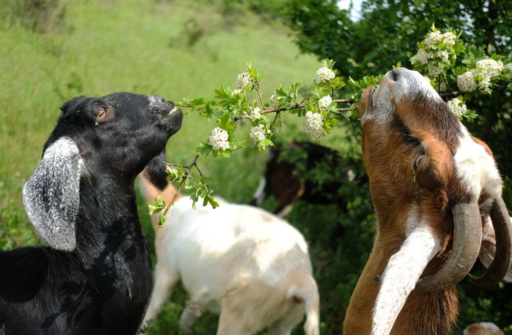 Anglo-Nubian Goats  in a private subsidiary farm of the Ust-Labinsky district of the Krasnodar Territory.