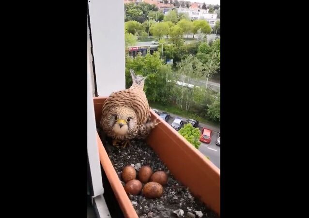 I found this falcon is nesting in my plant box so I started feeding her
