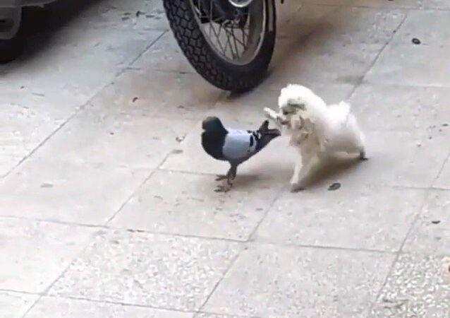 Dog and pigeon