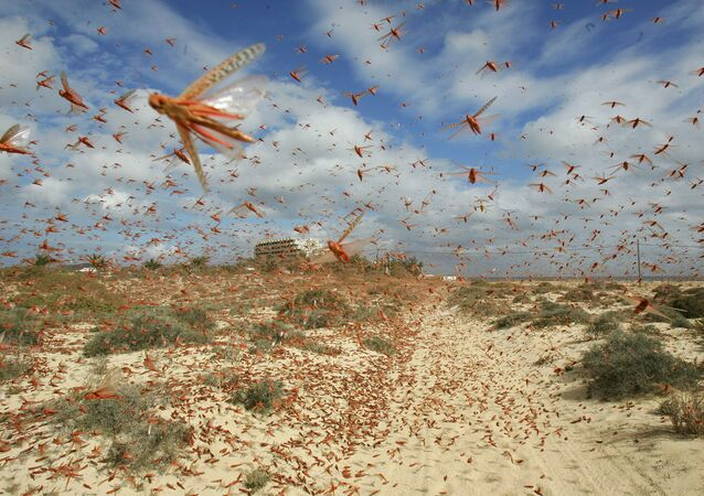 A swarm of pink locusts (File)