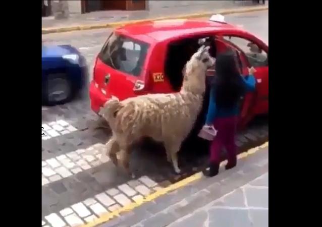 Alpaca in a Taxi