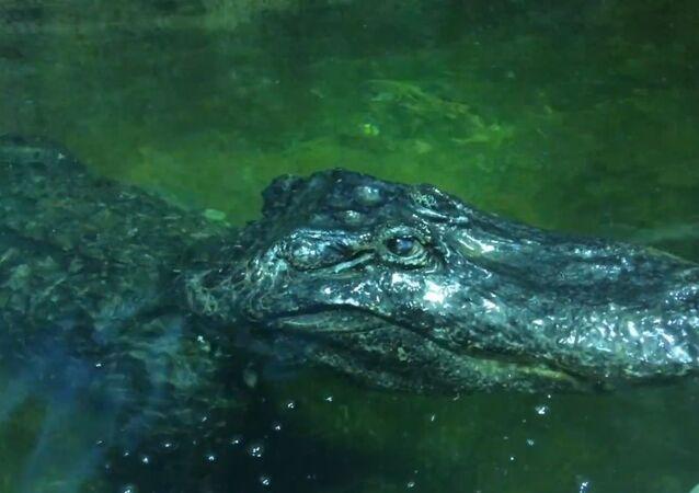 Alligator named Saturn
