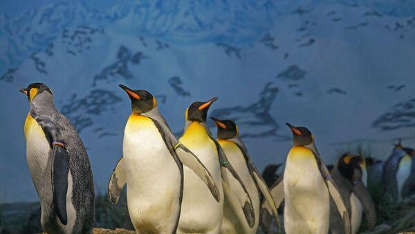 King penguins - Sputnik International