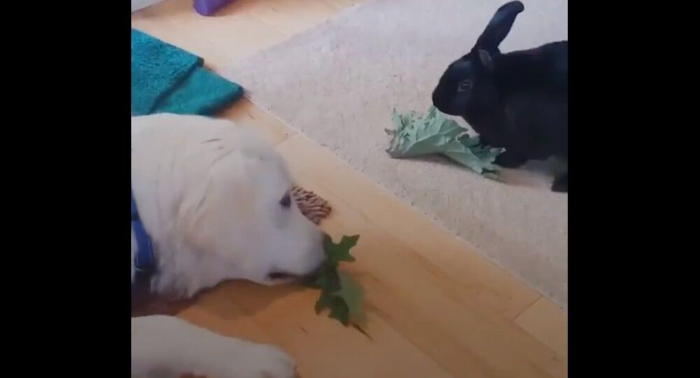 This bunny was an only child until her parents brought home a golden retriever puppy