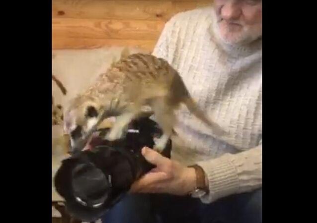 Rescued Meerkat Curiously Investigates Camera