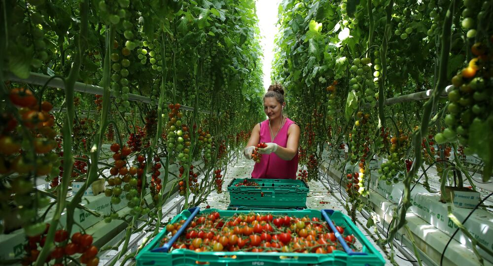 A worker is pictured picking tomatoes at the Frank Rudd and Sons Tomato Farm following the outbreak of the coronavirus disease (COVID-19), Knutsford, Britain, May 14, 2020.