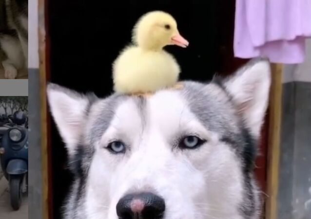 Unexpected Best Friends: Baby Duck Loves Resting Atop Husky's Head