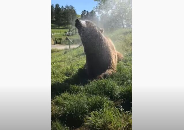Grizzly Bear Loves Cool Shower on Hot Day