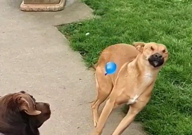 dogs play with a balloon