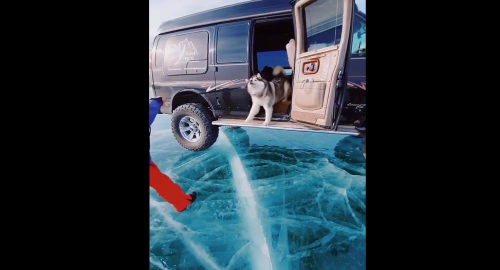 Alaskan Malamute on ice