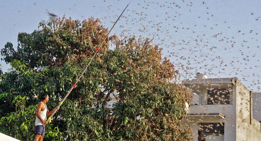 In this photograph taken on May 25, 2020 a resident tries to fend off swarms of locusts from a mango tree in a residential area of Jaipur in the Indian state of Rajasthan