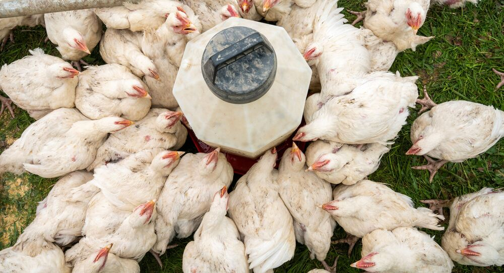 Chickens drink water at Gifted Grass Farm in Chippewa Lake, Ohio, U.S.,  May 7, 2020 as the coronavirus disease (COVID-19) outbreak continues. Picture taken May 7, 2020.