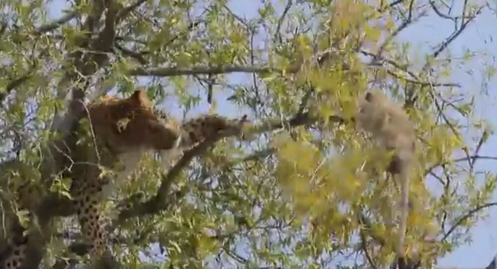 Rarely seen,  leopard trying to shake the monkey from tree for food. Monkey holds on