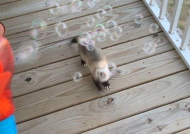 Ferret vs bubbles