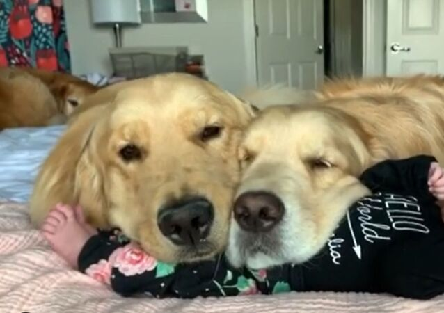 Golden Retrievers Protect Newborn Baby