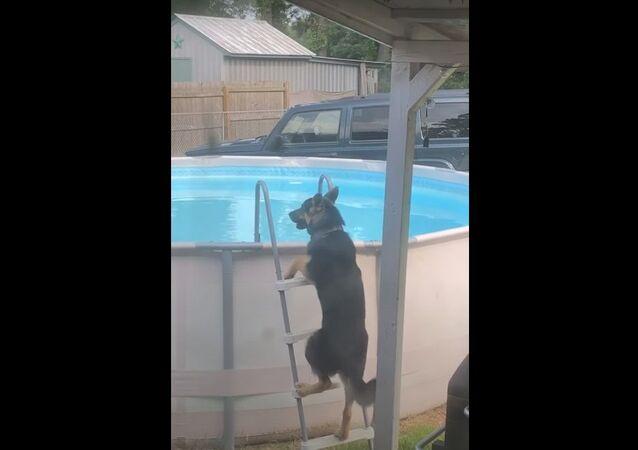 German Shepherd Learned How to Get into Pool
