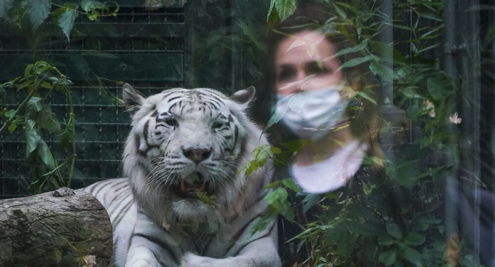 A woman, wearing a protective mask, is reflected in the glass of the cage of a white Siberian tiger, in Rome Zoo as it reopens