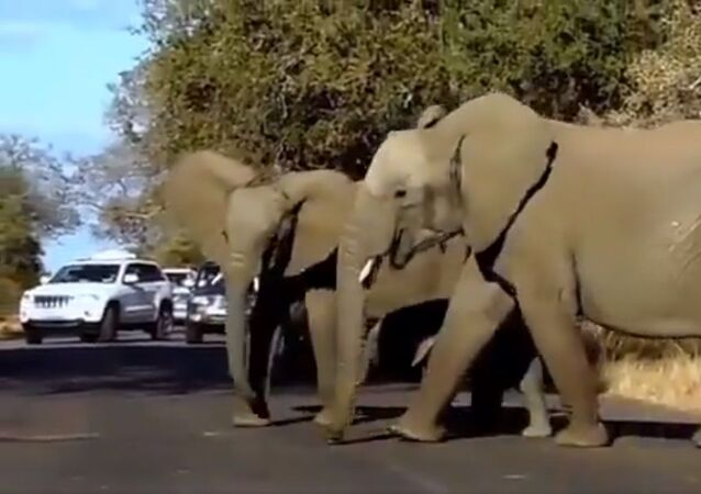 Matriarch of elephant family comes with lot of expertise & leads from the front