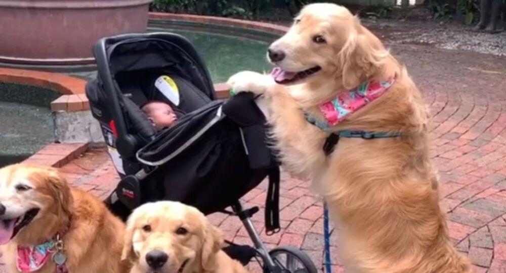 Hurry Up Already! Golden Retriever Family Waits to Take Baby on Stroll