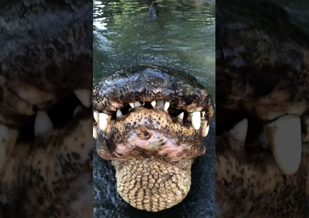 Hunter The American Alligator Says Good Morning